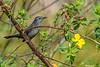 GrayCatbird-MerrittIslandNWR-2-18-19-SJS-002