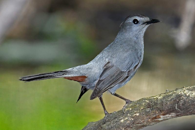 GrayCatbird-MaumeeBayStatePark-5-18-17-SJS-001