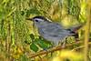 GrayCatbird-LAWD-11-9-18-SJS-001
