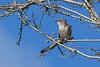 NorthernMockingbird-OaklandNP-9-16-19-SJS-001