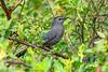 GrayCatbird-MerrittIslandNWR-2-18-19-SJS-004