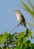 NorthernMockingbird-MerrittIslandNWR-FL-1-10-17-SJS-02
