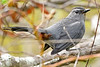 NorthernCatbird-LAWD-12-16-18-SJS-001