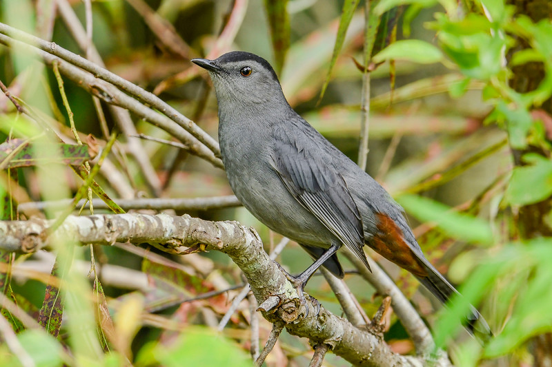 GrayCatbird-EmeraldaMarsh-10-3-20-sjs-03