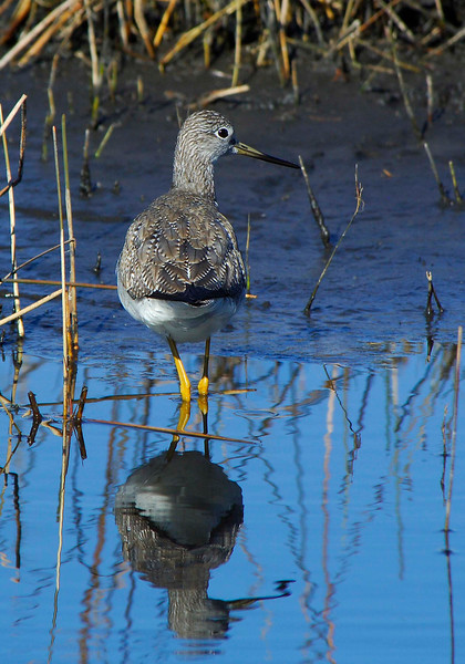 GreaterYellowlegs-04
