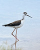 BlackNeckedStilt-EmeraldaMarsh-7-16-20-SJS-02