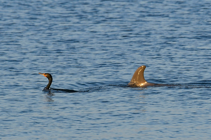 Cormorant&Dolphin-FortIslandTrlPark-Crystal River-3-14-19-SJS-001