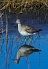 GreaterYellowlegs-03