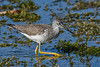 GreaterYellowlegs-LAWD-12-27-20-sjs-002