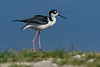 BlackNeckedStilt-EmeraldaMarsh-5-22-20-SJS-02