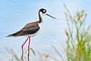 BlackNeckedStilt-EmeraldaMarsh-7-16-20-SJS-05