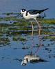 BlackNeckedStilt-EmeraldaMarsh-3-27-20-SJS-002
