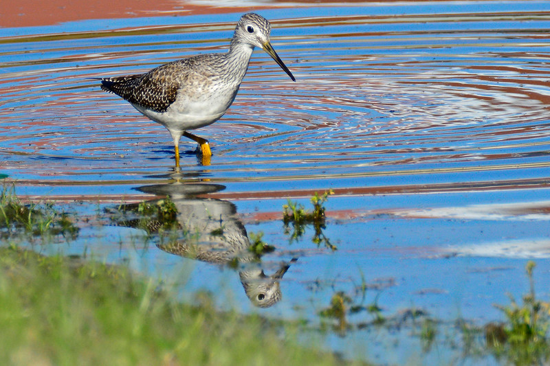 GreaterYellowlegs-FL-2016-SJS-006