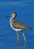 GreaterYellowlegs-19