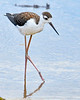 BlackNeckedStilt-EmeraldaMarsh-7-16-20-SJS-07