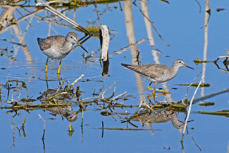 Greater&LesserYellowLegs-LAWD-2-10-17-SJS-001