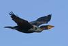 DoubleCrestedCormorant-LAWD-12-19-20-sjs-002