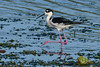 BlackNeckedStilt-EmeraldaMarsh-3-21-20-SJS-006