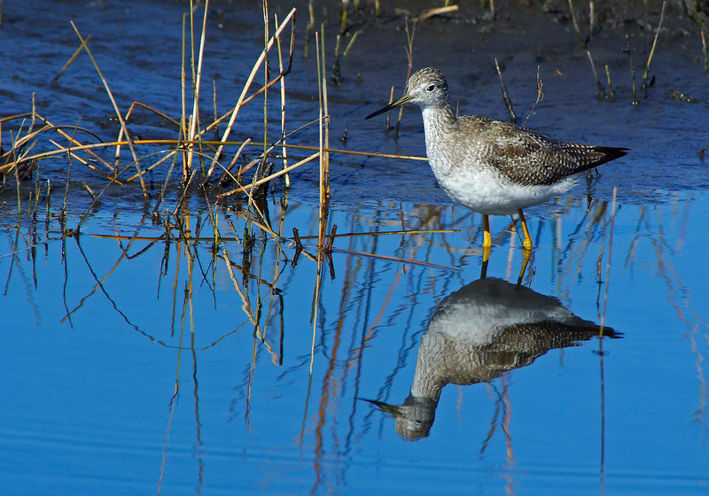 GreaterYellowlegs-02