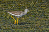 GreaterYellowlegs-LAWD-11-27-20-sjs-003
