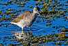 GreaterYellowLegs-LAWD-12-15-19-SJS-002