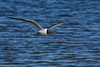 LaughingGull-FortIslandTrlPark-Crystal River-3-14-19-SJS-018