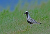 Black-belliedPlover-MM-5-16-17-SJS-001