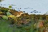 SpottedSandpiper-EmeraldaMarsh-8-9-20-sjs-004