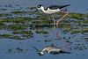 BlackNeckedStilt-EmeraldaMarsh-3-27-20-SJS-004