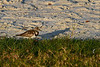 RuddyTurnstone-FortIslandTrlPark-Crystal River-3-14-19-SJS-001