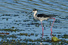 BlackNeckedStilt-EmeraldaMarsh-3-21-20-SJS-005