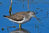 GreaterYellowLegs-LAWD-3-7-20-SJS-001