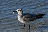 LaughingGull-FortIslandTrlPark-Crystal River-3-14-19-SJS-010