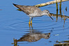 LesserYellowLegs-LAWD-2-10-17-SJS-003
