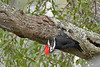 PileatedWoodpecker-ApopkaFL-1-20-18-SJS-011