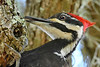 PileatedWoodpecker-LYE-3-22-18-SJS-006