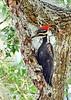 PileatedWoodpecker-LYE-3-22-18-SJS-019