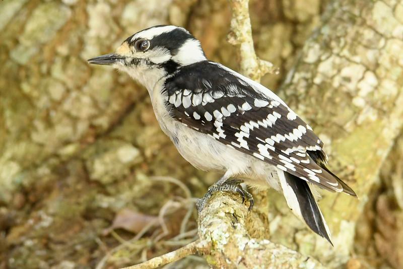 DownyWoodpecker(male)-LYE-3-13-19-SJS-015