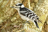 DownyWoodpecker(male)-LYE-3-13-19-SJS-015