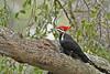 PileatedWoodpecker-ApopkaFL-1-20-18-SJS-007