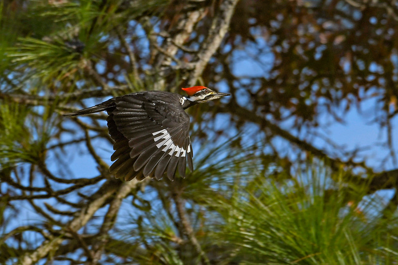 PileatedWoodpecker-OcalaNF-1-13-20-SJS-013