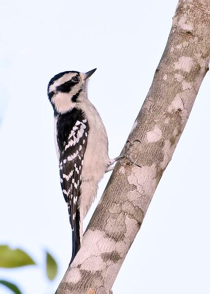 DownyWoodpecker-SawgrassIsland-12-4-18-SJS-003