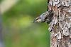 BrownheadedCowbird-FallingWatersSP-FL-8-19-20-sjs-006