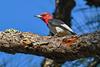 RedHeadedWoodpecker-OcalaNF-9-25-20-sjs-06