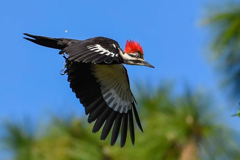 PileatedWoodpecker-MeadGardens-4-16-19-SJS-024