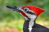 PileatedWoodpecker-MeadGardens-4-16-19-SJS-016