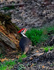 PileatedWoodpecker-Male-2016-sjs-005