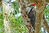 PileatedWoodpecker-LYE-3-22-18-SJS-012