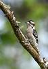 DownyWoodpecker(male)-OcallaNF-9-16-20-sjs-004