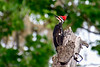 PileatedWoodpecker-SawgrassIsland-3-11-20-SJS-002